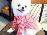 Minik Dostunuz Pomeranian Boo