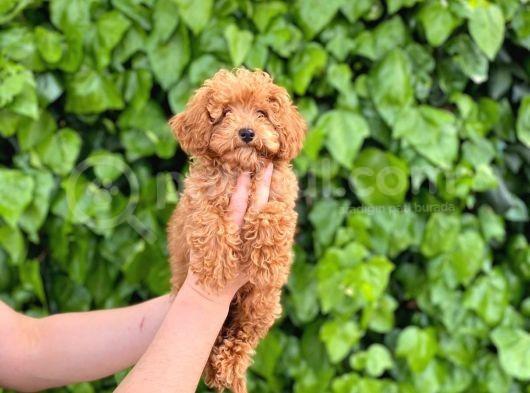 Veteriner Teknikerinden Sevimli Toy Poodle Yavrularımız