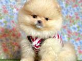 Safkan Pomeranian Boo Yavrularımız