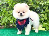 Sevimli Pomeranian