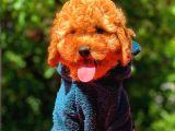 3 Aylık Erkek Red Toy Poodle Yavrumuz
