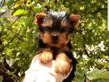 Mini Yorkshire Terrier Yavrular