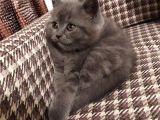 Dişi Yavru Kedi