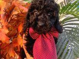 Siyah İnci Toy Poodle Bebeğimiz