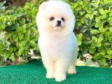Pomeranian Boo White Yavrular