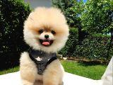 Ayı Surat Tıraşlı Pomeranian Boo Yavrularımız