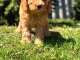 Safkan Di̇şi̇ Poodle