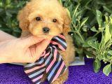Gerçek Tea Cup Poodle