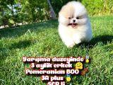 Basık Surat 0,5 Burun Ödül Adayı Scrli Safkan Boo Pomeranian