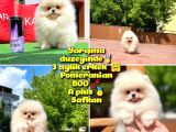 Basık Surat 0,5 Burun Yarışma Düzeyinde Safkan Boo Pomeranian