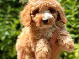 Her Renk Toy Poodle Yavrular