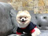Krem Rengi Dişi Pomeranian Boo