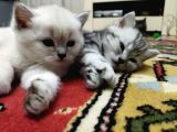 Silver Whiskas Ve Bluepoint