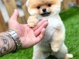 Orijinal Pomeranian Boo Yavrularımız