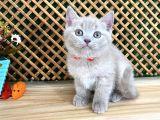 Çocuklarla Anlaşan Lilac British Shorthair Yavrumuz Lori