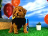 Red Brown 3 Aylık Toy Poodle Yavrumuz Reis