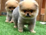 Teddy Bear Pomerani̇an Boo Yavrular