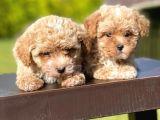 Mi̇ni̇ Boy Toy Poodle Bebekleri̇mi̇z