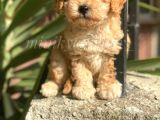 Dişi Erkek Safkan Toy Poodle Yavrularımız