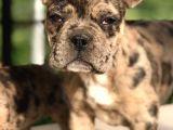 3.5 Aylık Merle French Bulldog Yavrumuz