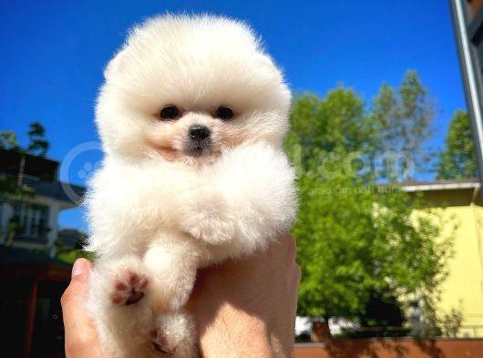 Aa Kalite Pomeranian Boo Oğlumuz Paşa