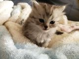 2 Aylık British Longhair Silver