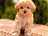 Sağlık Garantili Poodle Yavrular