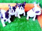 French Bulldog Yavrular İzmi̇r