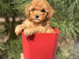 A Kalite Irkının En İyileri Toy Poodle Yavrularımız