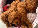Toy Poodle Yavruları Safkan Irk Ve Sağlık Garantili