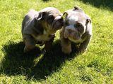 İngiliz Bulldog Yavruları Safkan Irk Ve Sağlık Garantili