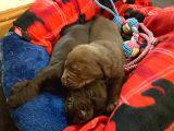 Labrador Yavruları Safkan Irk Ve Sağlık Garantili
