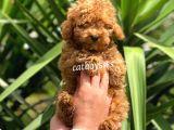 Irk Garantili Red Toy Poodle Erkek Yavrumuz