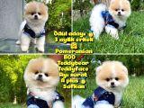Basık Surat 0.75 Burun Ödül Adayı Safkan Boo Pomeranian