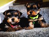Yorkshire Terrier Yavrularımız Safkan Irk Ve Sağlık Garantili