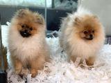 Muhteşem Pomeranian Boo Erkek Yavrular