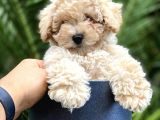Irkının En İyisi Safkan Toy Poodle Yavrularımız