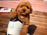 En İyi Fiyat Ve Kalite Garantili Toy Poodle Oğlumuz