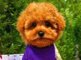 Irk Ve Sağlık Garantili Toy Poodle Erkek Yavrumuz