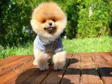 Safkan Teddy Bear Pomeranian Boo Kızımız