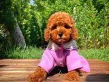 A Plus Kali̇tede Di̇şi̇ 3 Aylık Red Brown Renk Düzeyi̇nde Toy Poodle Yavrusu