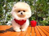 Karbeyazı Pomeranian Boo Yavrularımızdan