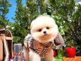 En İyi Kalitedeki Pomeranian Boo Yavrularımızdan