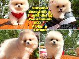 Basık Surat 0.5 Burun Ödül Adayı Safkan Boo Pomeranian
