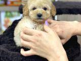 Safkan A Kalite Toy Poodle Yavrularımız