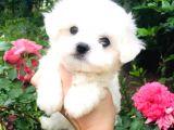 A Kalitede Maltese Terrier
