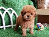 Orijinal Toy Poodle Yavrularımız Irk Garantili