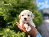 Dişi Ve Erkek Mevcut Maltese Terrier