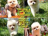 Küt Mikro Burun Yarışma Adayı Safkan Boo Pomeranian