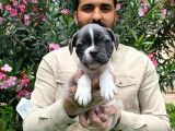 Muhteşem Blue Pi̇ed Fransiz Bulldog Bebekleri̇